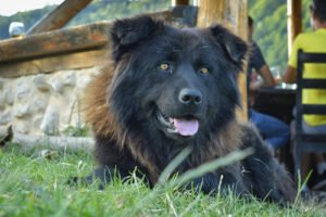 Carpathian Shepherd Muscled Dog