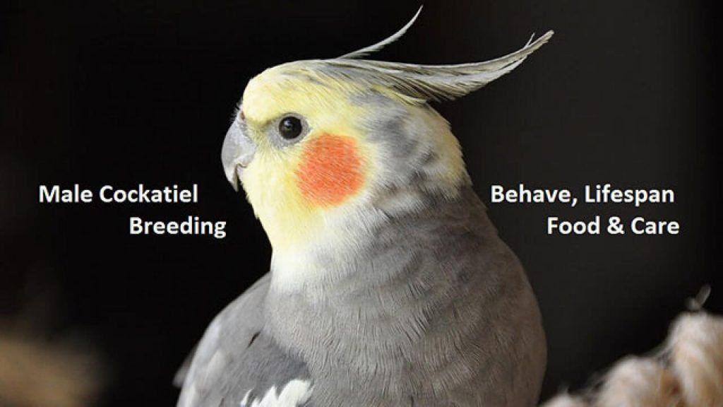 Cockatiel Behavior 4