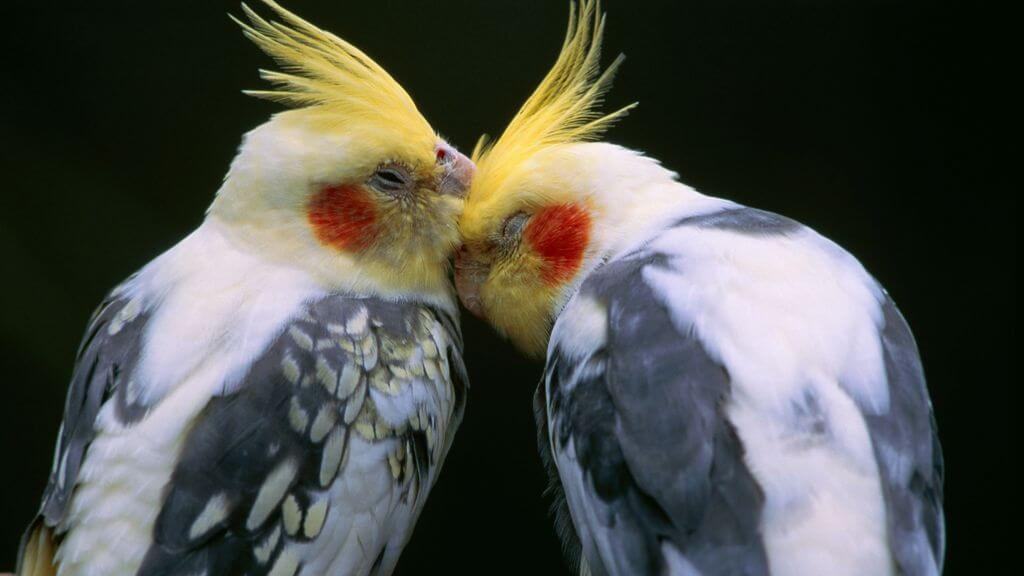 Cockatiel Behavior