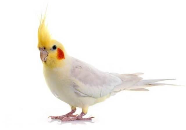 Cockatiel Bird Facts