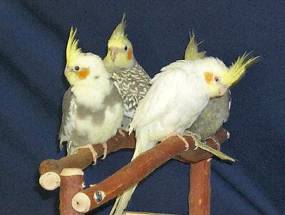 Cockatiel head movement