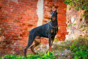 Muscular Dog Doberman Pinscher