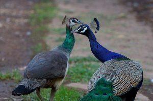 Female Peacock 1