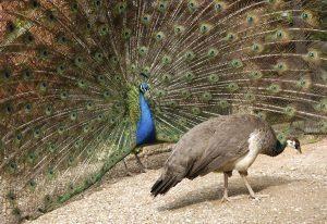 Female Peacock 2