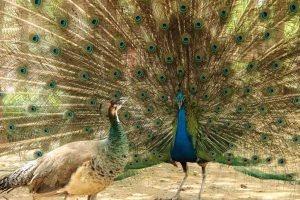 Female Peacock 4