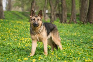 German Shepherd Muscled Dog