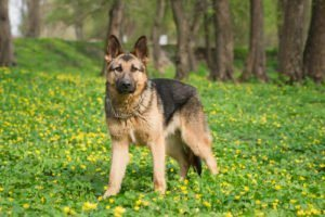 Muscular Dog German Shepherd