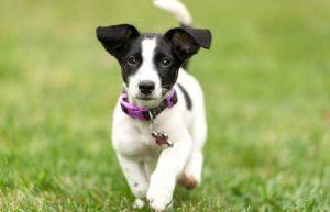 Muscular Dog Jack Russell Terrier
