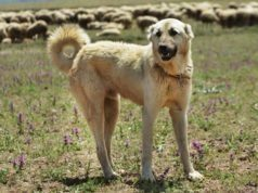 Muscular Dog Kangal