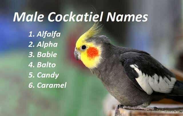 Male Cockatiel Names