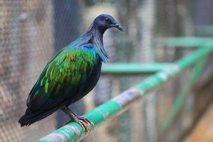 Nicobar Pigeon 10