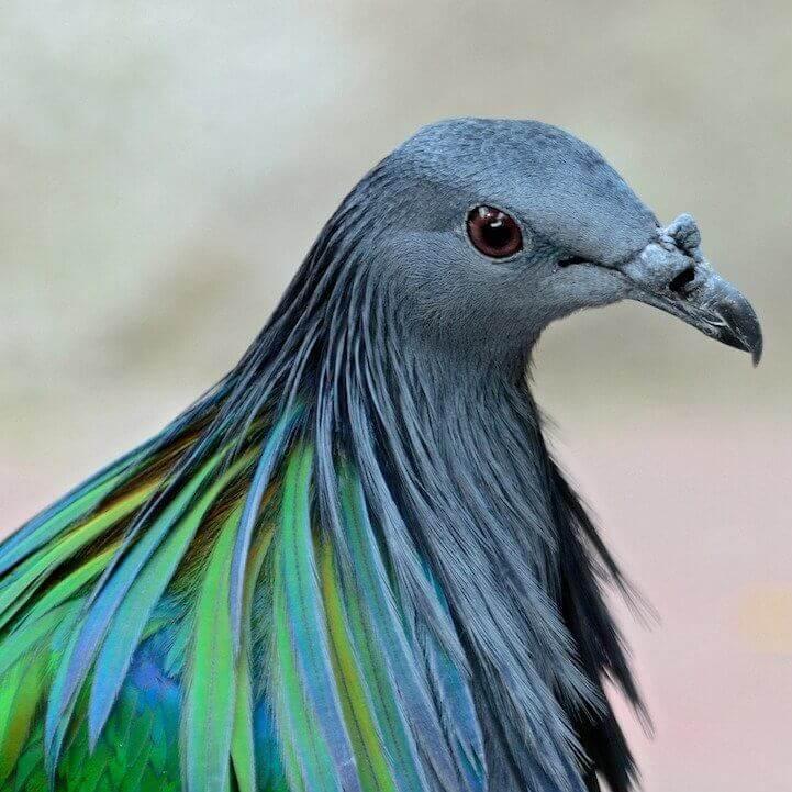 Nicobar Pigeon 8