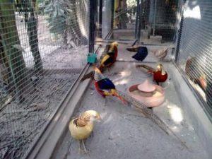 Raising Game Birds 6