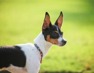 Muscular Dog Rat Terrier
