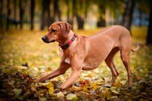 Muscular Dog Rhodesian Ridgeback