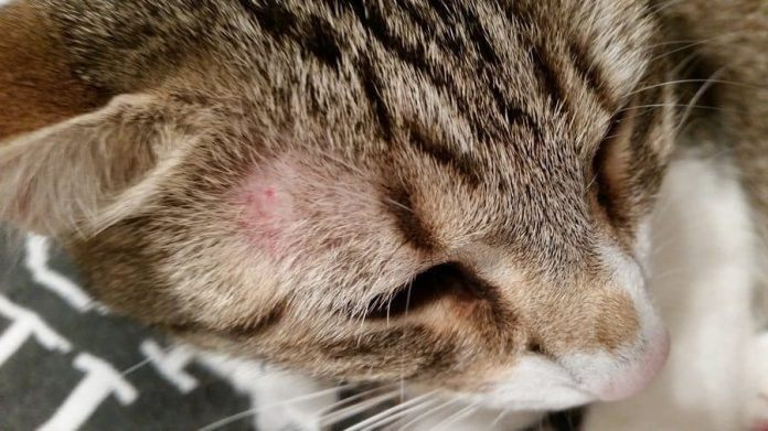 Ringworm in Cats
