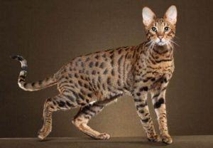 Savannah Cat 1