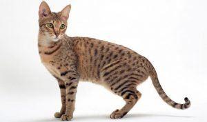 Savannah Cat 3
