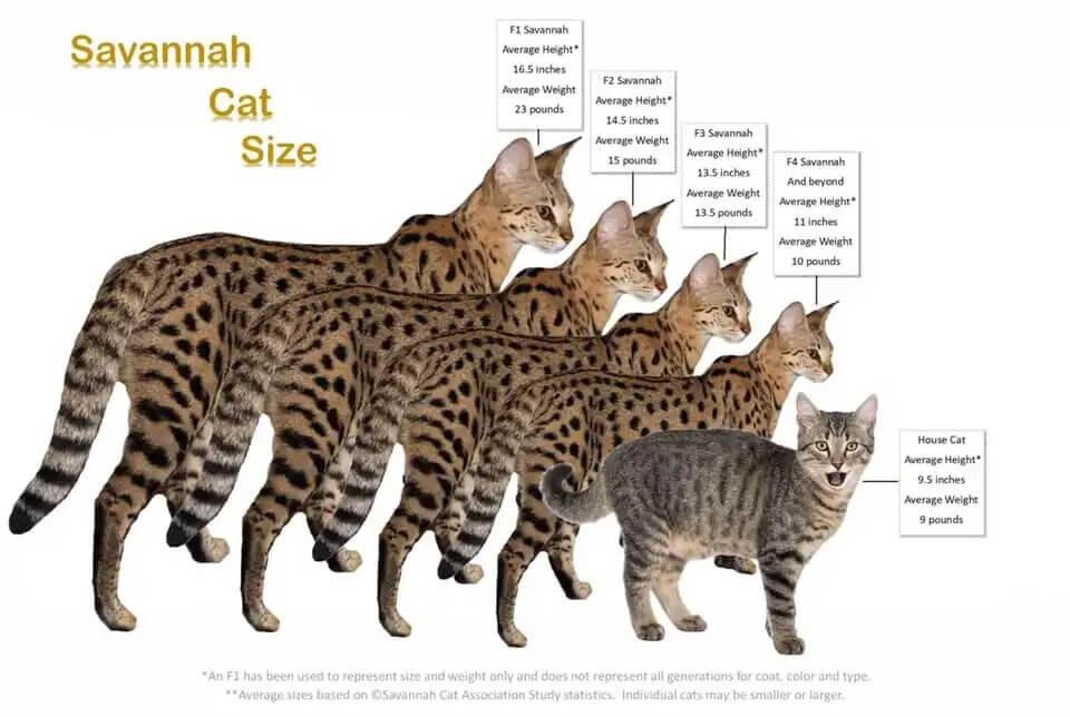 Savannah Cat 4