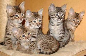 Savannah Cat 5