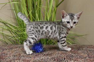 Savannah Kittens 1