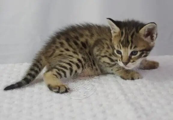 Savannah Kittens 2