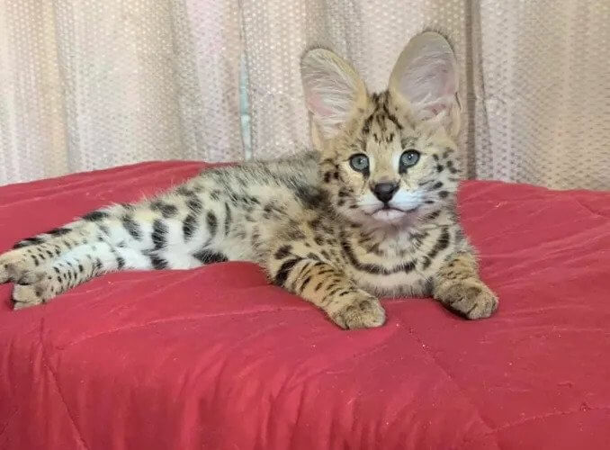 Savannah Kittens 3