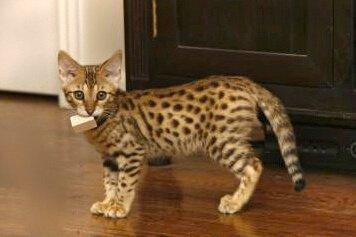 Savannah Kittens 5