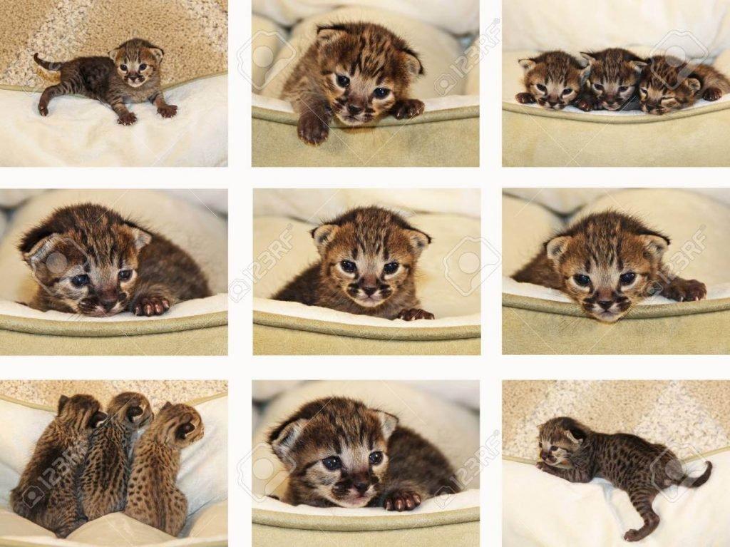 Savannah Kittens 6