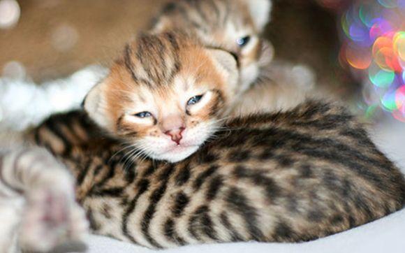 Savannah Kittens 7