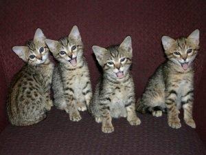 Savannah Kittens 8