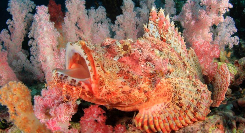 Scorpion fish 5