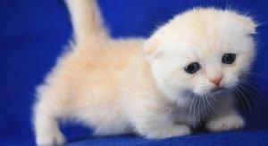 Scottish Fold Munchkin Kittens 1
