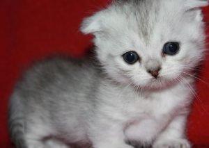 Scottish Fold Munchkin Kittens 2