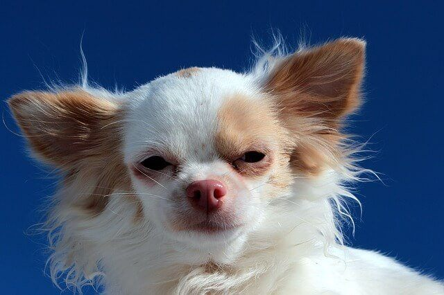 Small Dog Syndrome 10