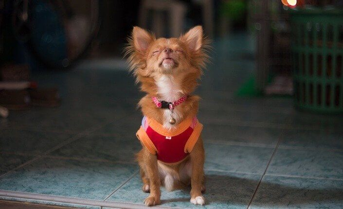 Small Dog Syndrome 11