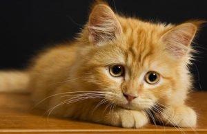 Smallest Cat Breeds