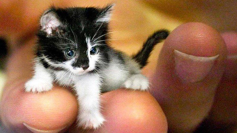 Smallest Cat Breeds 3
