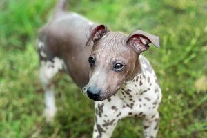 american hairless terrier cute puppies