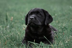 black lab cute puppies