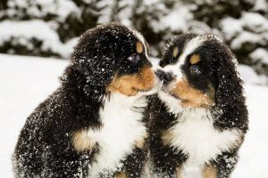 bmd cute puppies