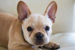 french bulldog cute puppies
