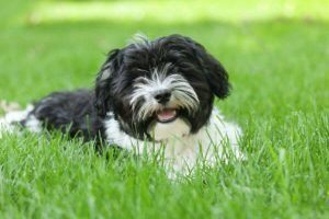 havanese cute puppies
