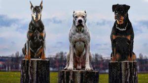 muscular dog breeds