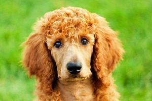 poodle cute puppies