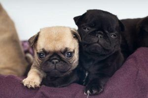 pug cute puppies