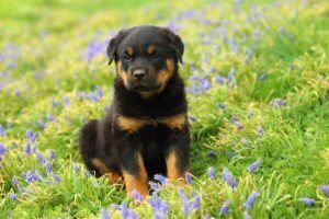 rottie cute puppies