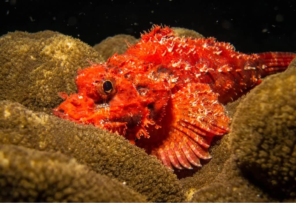 scorpion fish 6