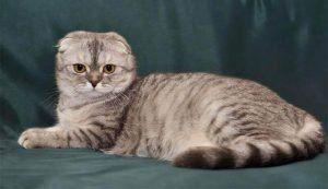scottish fold munchkin cat