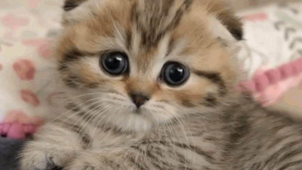 scottish muchkin cat